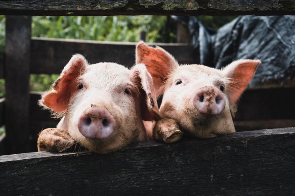 Niemcy z powodu ASF wstrzymały eksport wieprzowiny do krajów spoza UE