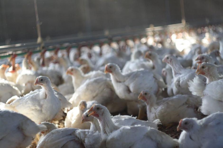 Drobiarze: Zakaz uboju religijnego może doprowadzić do upadku polską branżę mięsną