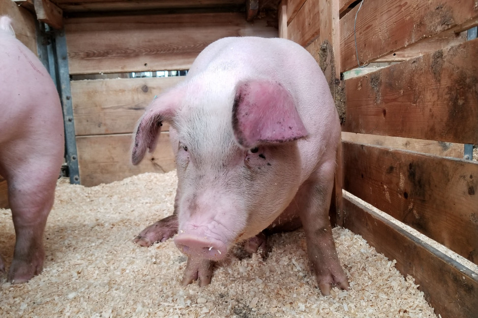 Kolejna afera w niemieckiej firmie Toennies - okrutne traktowanie świń