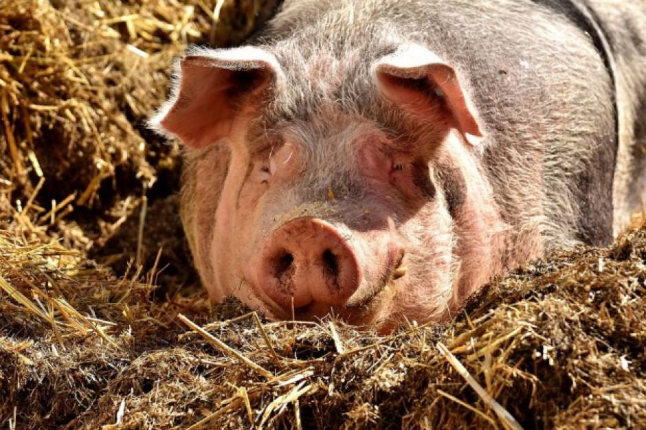 Afera w niemieckiej firmie - chodzi o okrutne traktowanie zwierząt