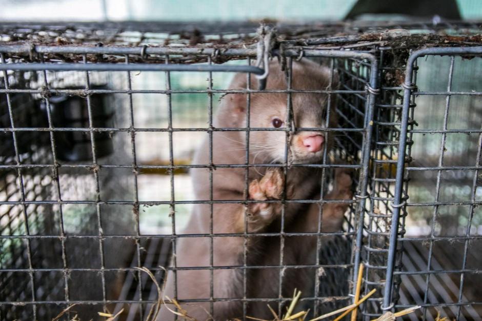 Blisko 70 proc. badanych Polaków za zakazem hodowli zwierząt na futra