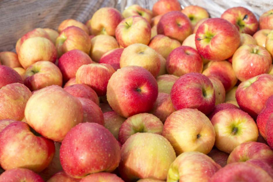 Ceny jabłek przemysłowych spadły do 40 gr/kg