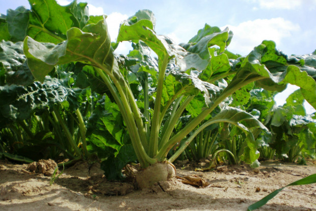 Plantatorzy: Zawartość cukru w burakach jest dramatycznie niska