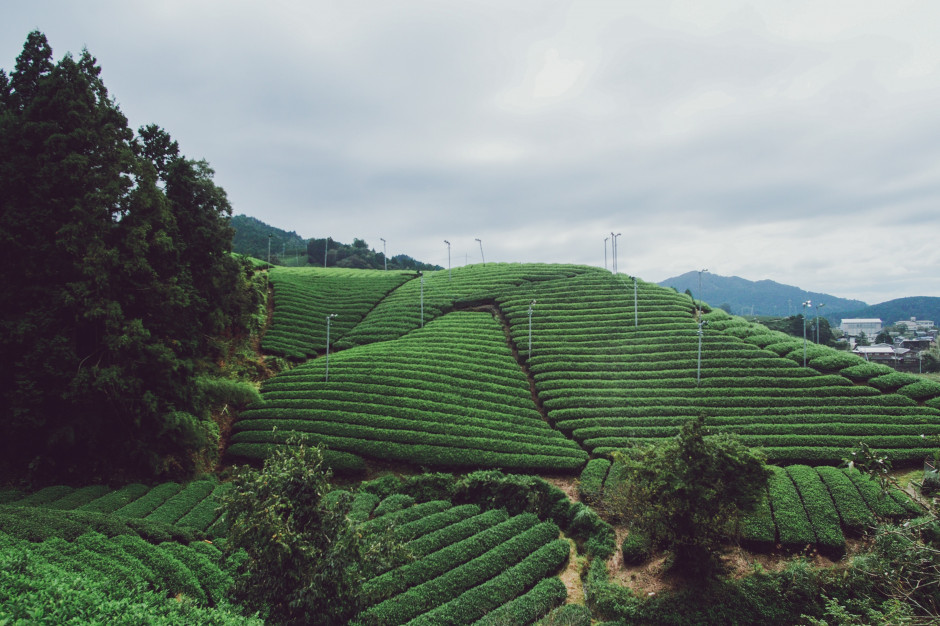 Czekają nas poważne zakłócenia na rynku dostaw herbaty