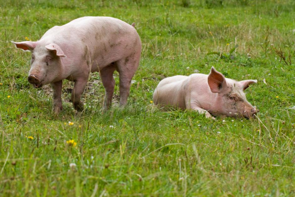 Koronawirus atakujący świnie może namnażać się też w ludzkich komórkach