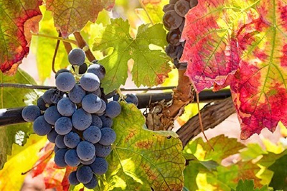 Producenci i przedsiębiorcy wyrabiający wino do 30 października muszą złożyć deklaracje w KOWR
