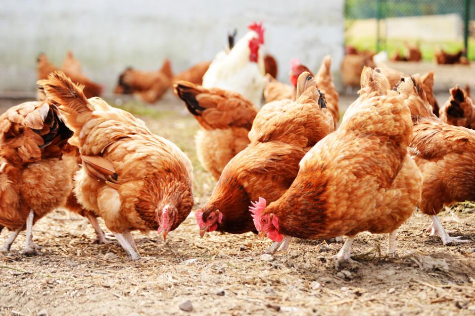 KRD-IG apeluje do hodowców o wzmożoną ostrożność w związku z grypą ptaków