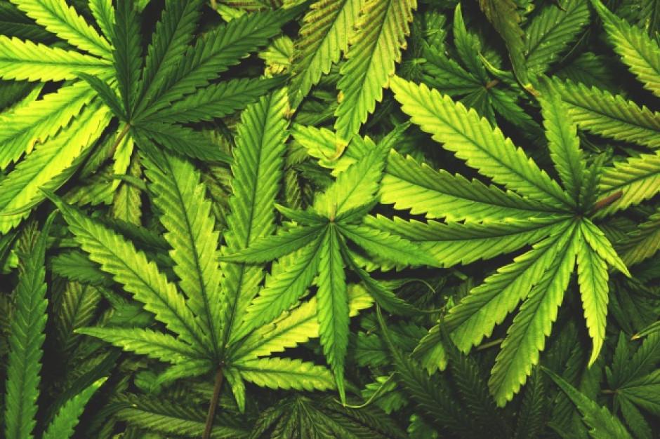 Parlamentarny Zespół ds. Legalizacji Marihuany w listopadzie zajmie się projektem dot. depenalizacji