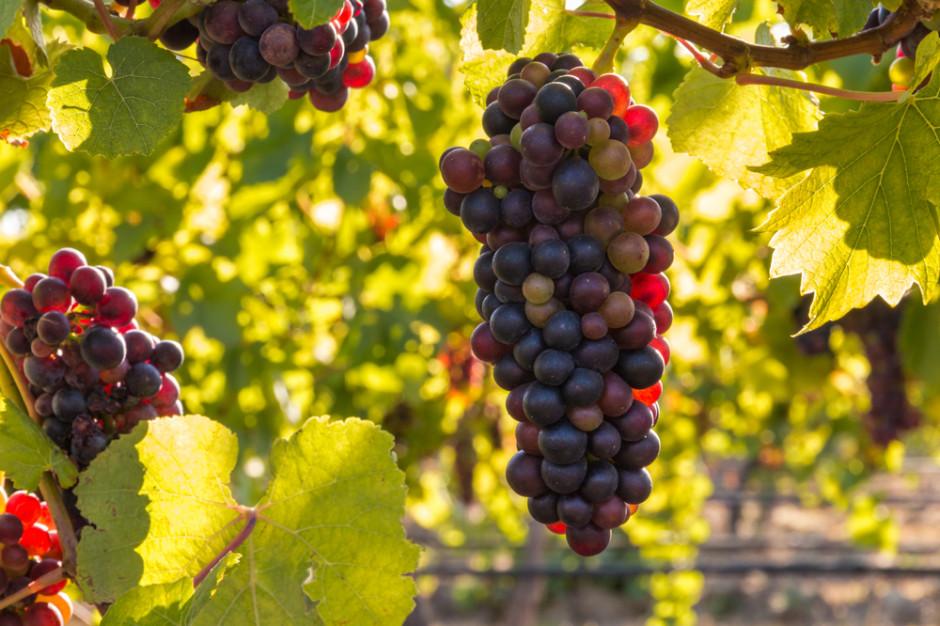 Tarnów chce odrodzić tradycje winiarskie. Powstanie miejska winnica