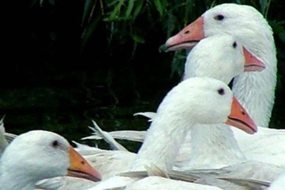 Główny Lekarz Weterynarii:: 5 nowych ognisk grypy ptaków