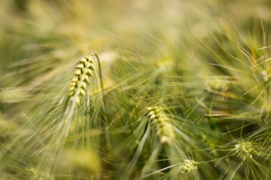 Izba Zbożowo-Paszowa: Sytuacja na rynku zbóż jest bardzo dynamiczna