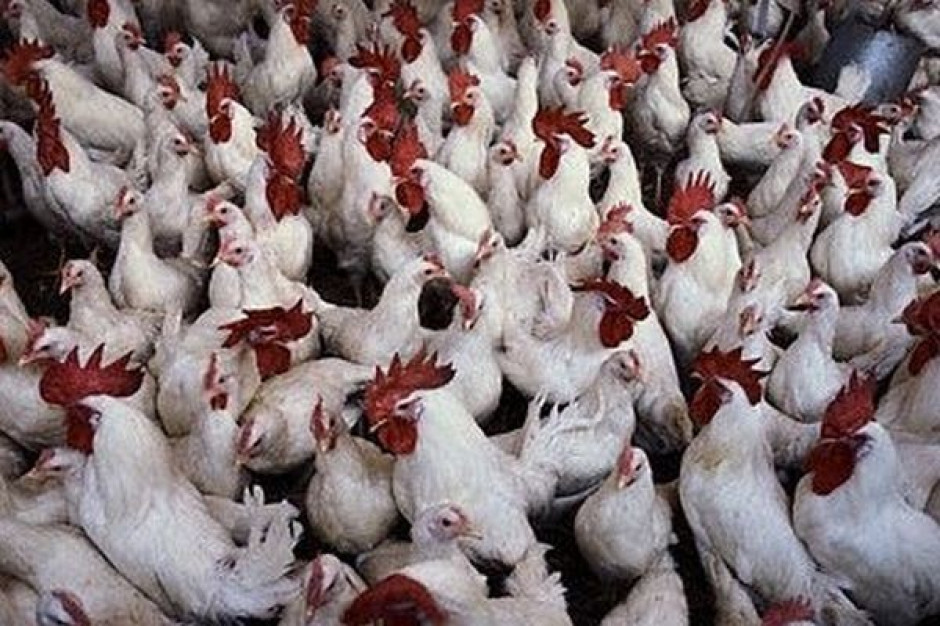 W Wielkopolsce  stado liczące około 24 tys. kur wybite po potwierdzeniu ptasiej grypy