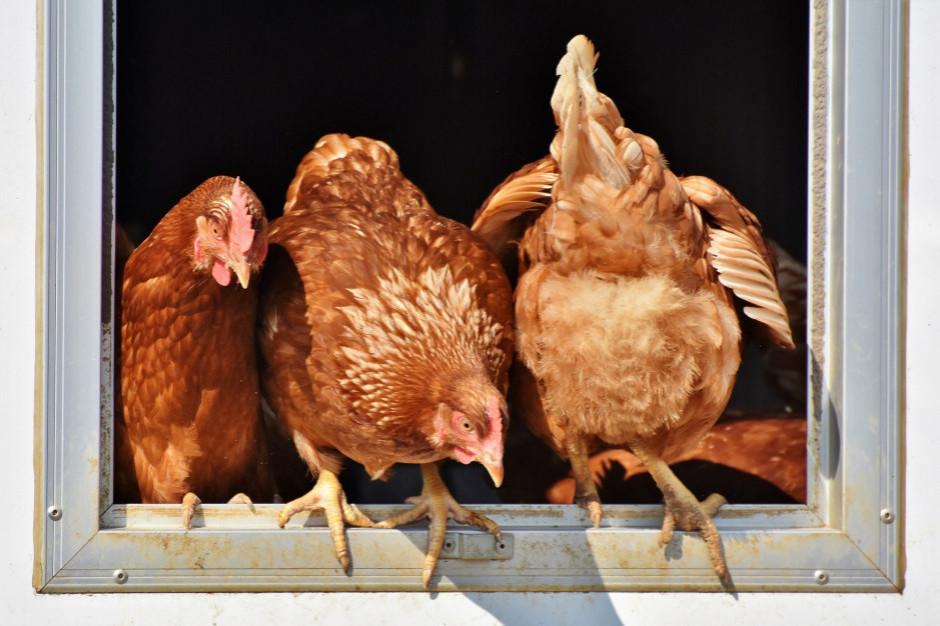 MRiRW: nie ma dowodów, by wirus ptasiej grypy przenosił się na ludzi