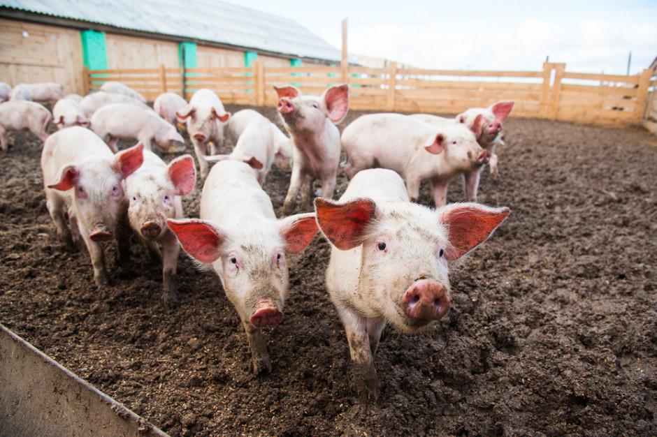 KSG Agro: Wieprzowina na Ukrainie zdrożała o 20 procent