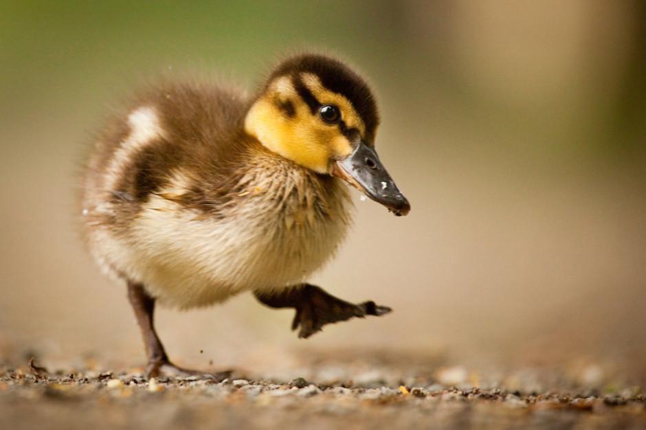 Grypa ptaków u dzikiej kaczki znalezionej w stołecznym ZOO