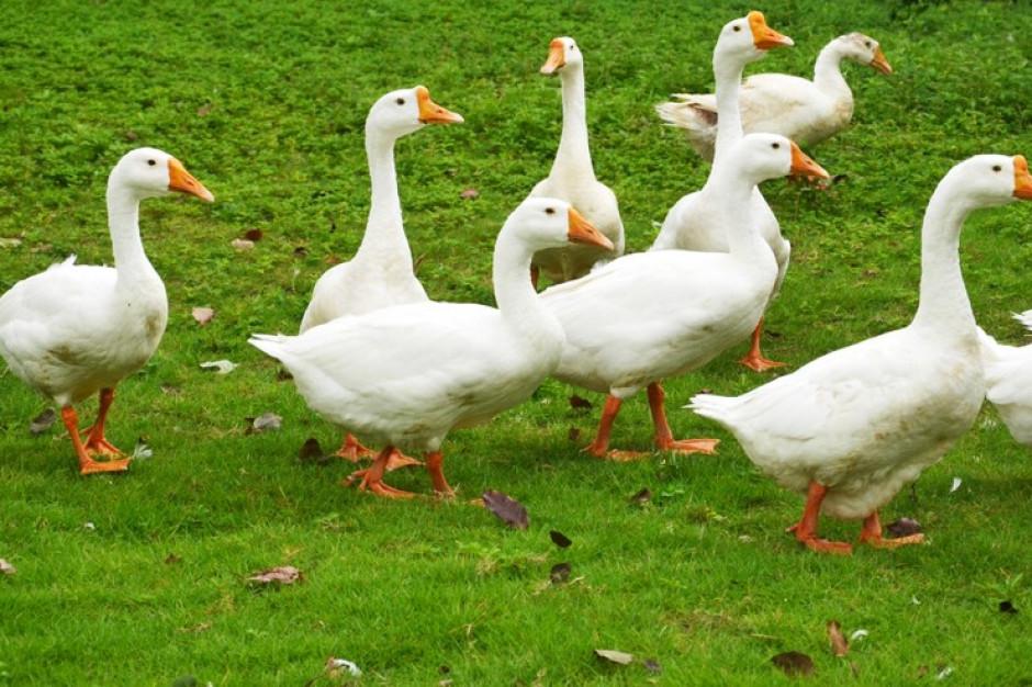 W Szkurłatach rozpoczęto likwidację kaczek zakażonych wirusem ptasiej grypy