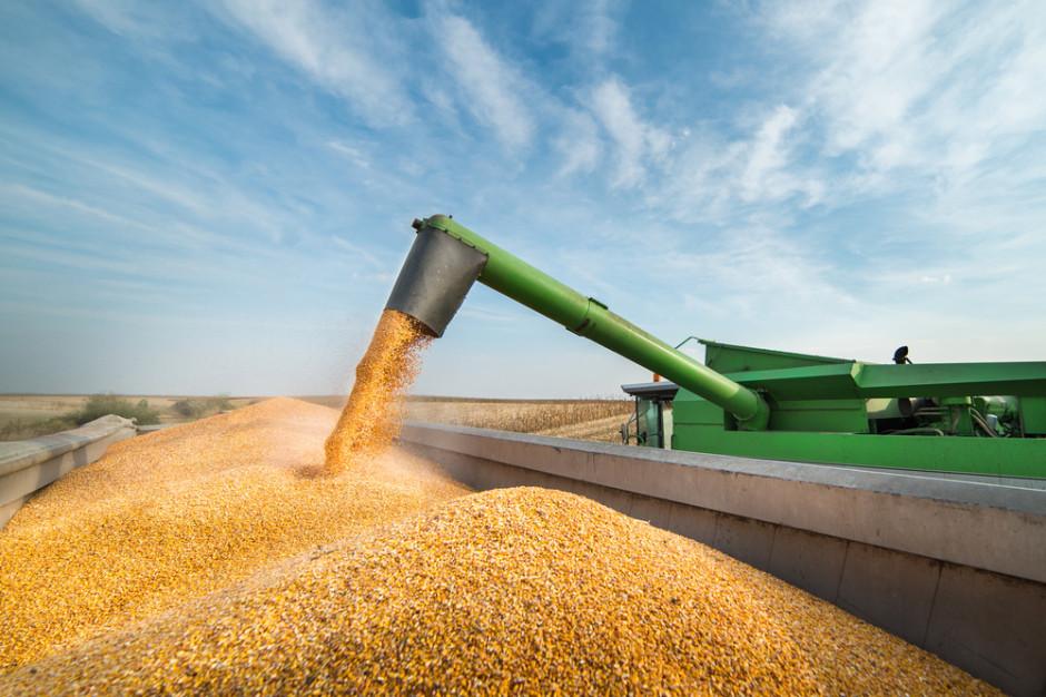 Mocno zdrożała kukurydza. W najbliższym czasie nie stanieje