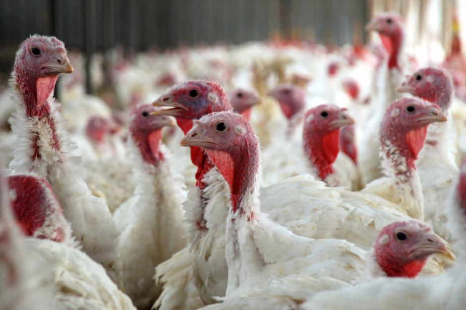 Pierwsze w tym roku ognisko zjadliwej ptasiej grypy HPAI