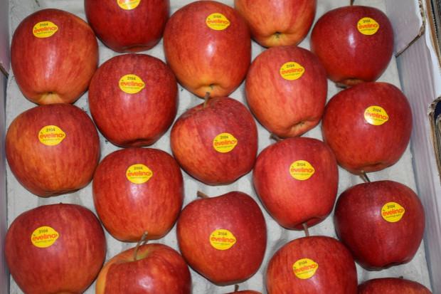 Klubowe odmiany jabłek podbijają rynki europejskie