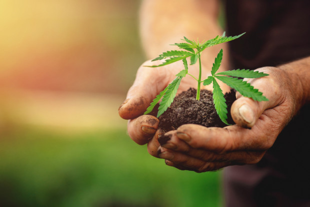 Przejęcia na rynku konopi. Vabun chce przejąć Cosma Cannabis