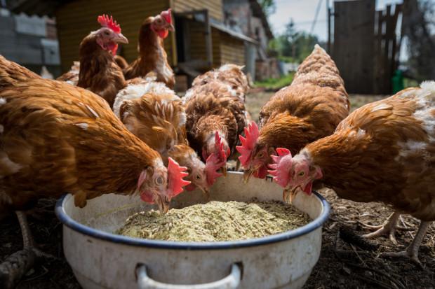Branża: Dobrostan kur w Polsce lepszy niż w USA
