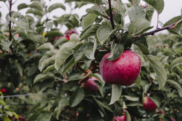 Jak wygląda produkcja jabłek w Rosji?