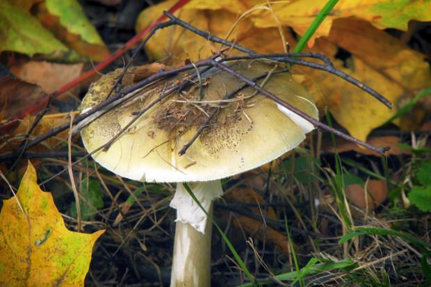 Wielkopolska: Koniec śledztwa ws. tragicznego zatrucia grzybami