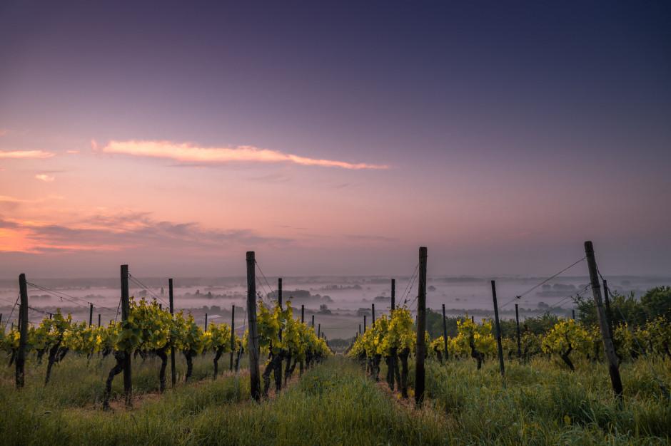 Francja: mrozy zniszczyły uprawy winorośli