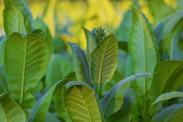 KOWR: ważna informacja dla producentów surowca tytoniowego