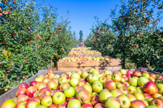 CBA - ustalenia ws. Programu Stabilizacji Cen na Rynku Jabłek
