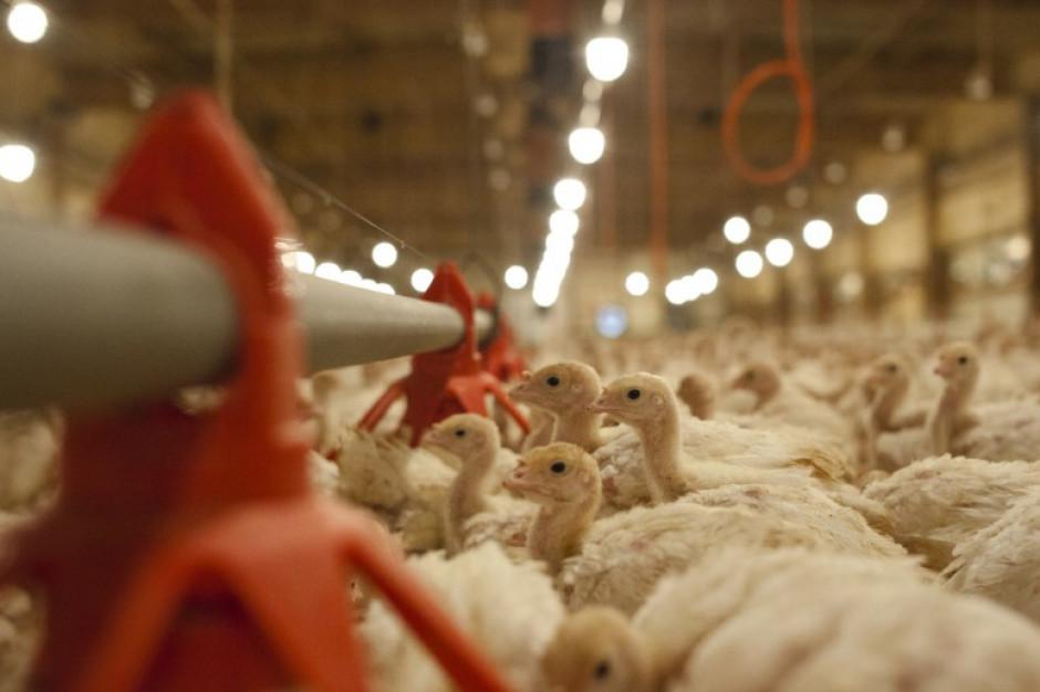 Ognisko ptasiej grypy w gospodarstwie w gminie Lidzbark