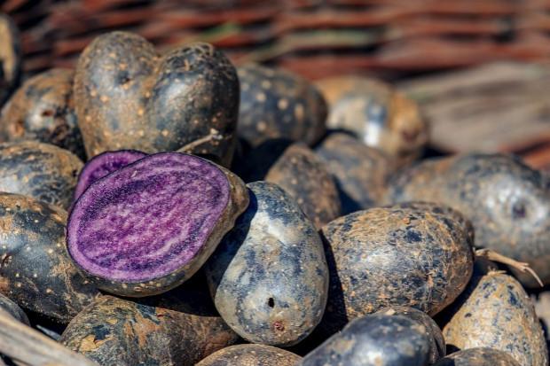 Na Podlasiu rozpoczęto uprawę fioletowych ziemniaków