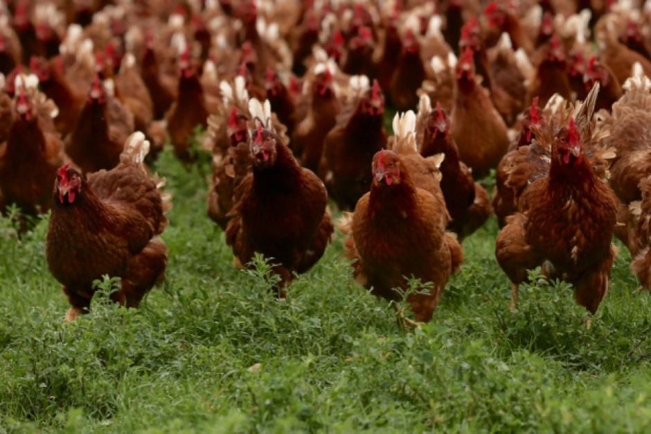 Grypa ptaków wymusiła likwidację ponad 6 mln sztuk drobiu