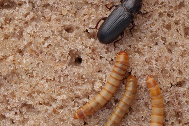 Larwy chrząszcza żywnością w świetle prawa UE