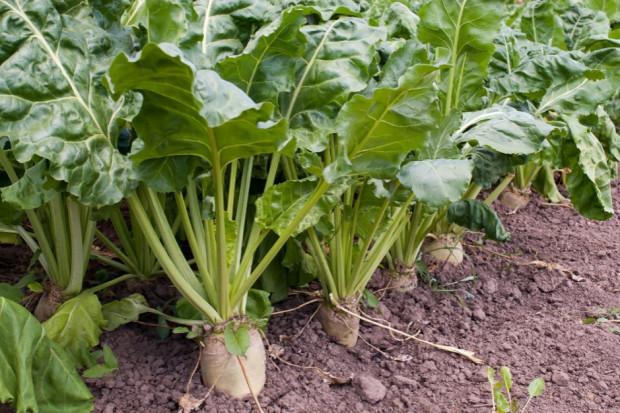 Plantatorzy chcą wyższych cen za buraki cukrowe