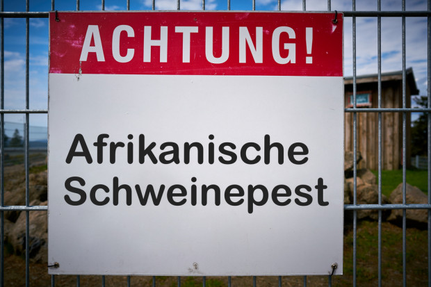 Polski rynek zaleją niemieckie tuczniki ze stref ASF?