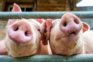 Branża: Nowe przepisy ws. ASF dobiją małe gospodarstwa