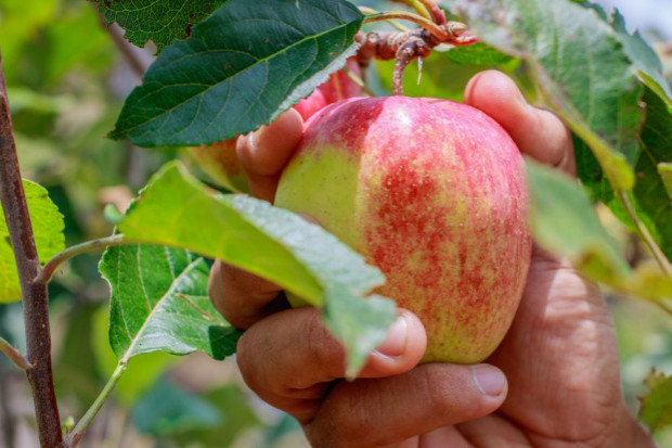 Europejskie mrozy mogą mieć wpływ na uprawy jabłoni w Polsce
