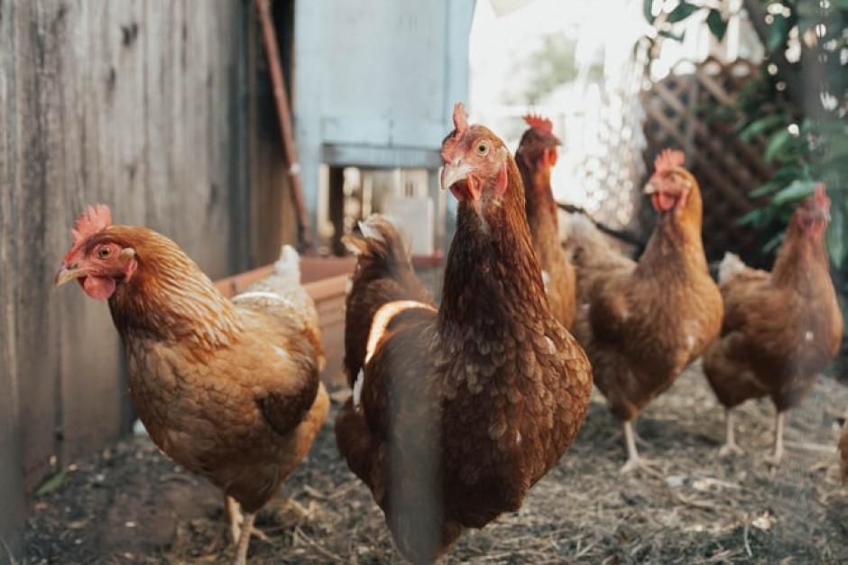Ogromne straty na Mazowszu przez grypę ptaków