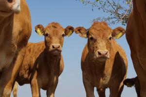Jakie zmiany na rynku wołowiny po aferze w Kalinowie?