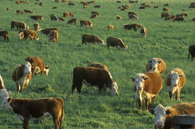 USA: 12,7 tys. zgonów przez produkcję żywności pochodzenia zwierzęcego