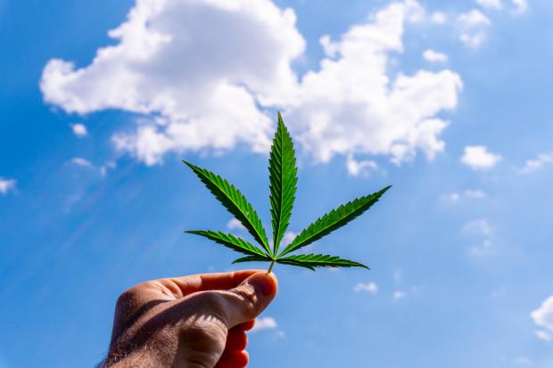 Konopie i marihuana medyczna. Biznes warty grzechu
