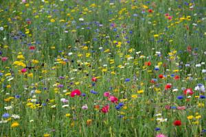 Lidl z myślą o pszczołach sprzedaje nasiona na łąki kwietne
