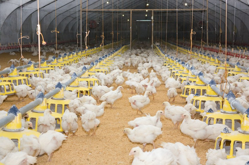 Drobiarze wolni od ptasiej grypy z chwilową szansą na większy zarobek