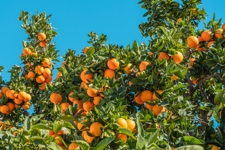 Susza w Brazylii. Światowy rynek pomarańczy i kawy zagrożony