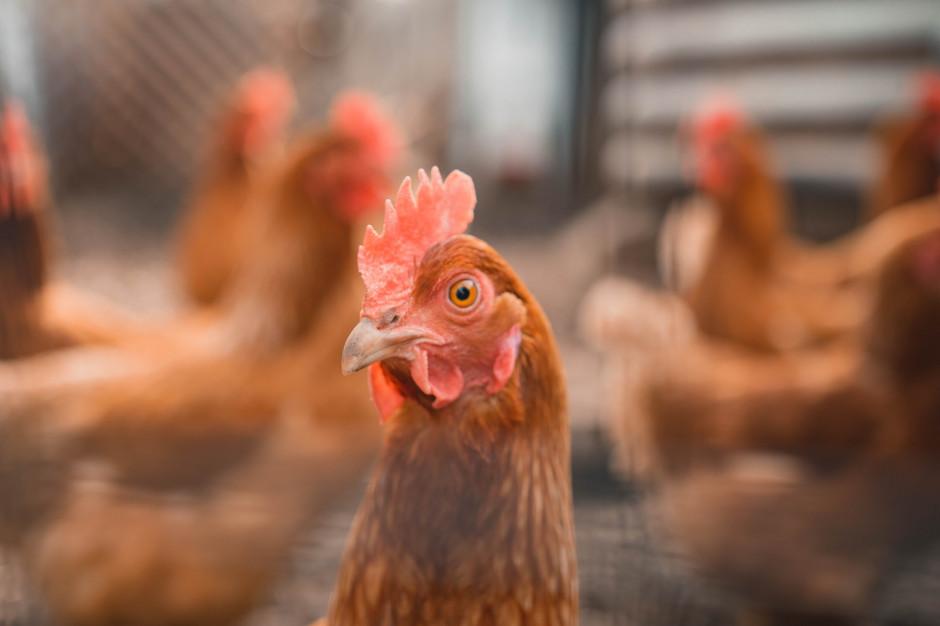 Producenci wolni od grypy ptaków zarabiają więcej. Jak długo?