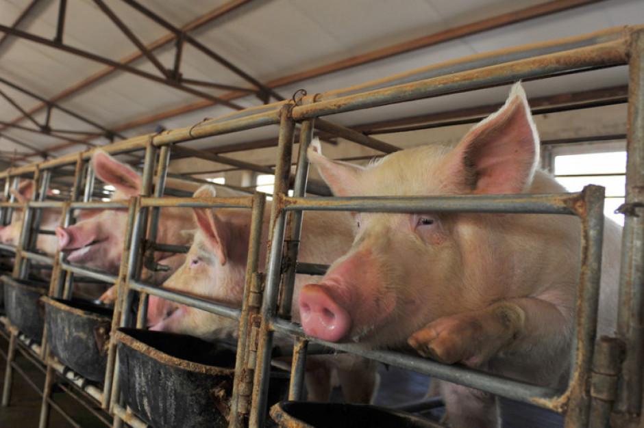 MRiRW: większe ryzyko pojawienia się wirusa ASF u świń