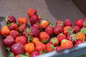 Wzrost cen w skupie truskawek
