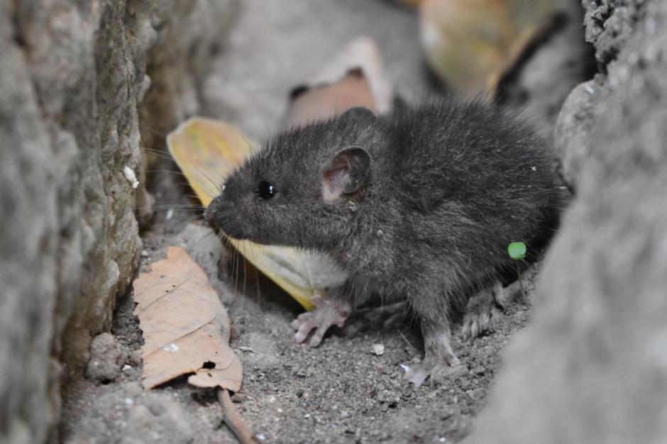 Australijscy rolnicy walczą z rekordową plagą myszy