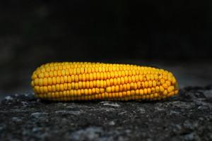 Przetwórca kolb kukurydzy zainwestuje 15 mln zł we Włocławku